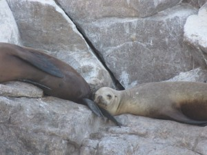 Sea Lions on Bird Island